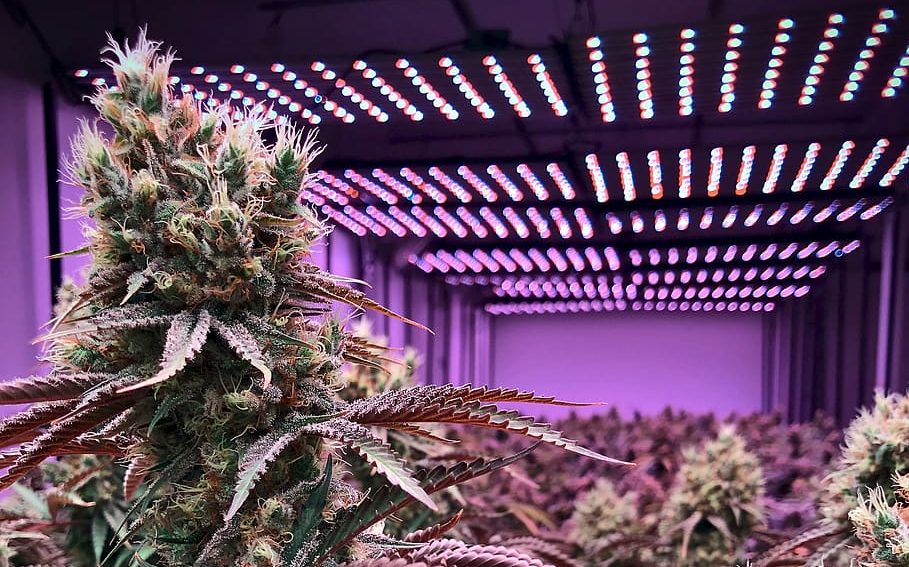 6 Cannabis strains for pain management and inflammation